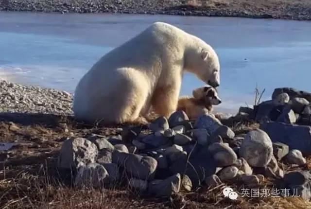 北极熊把这狗摸得那么嗨... 直到有一天,他们忘了喂... - 莆田鞋